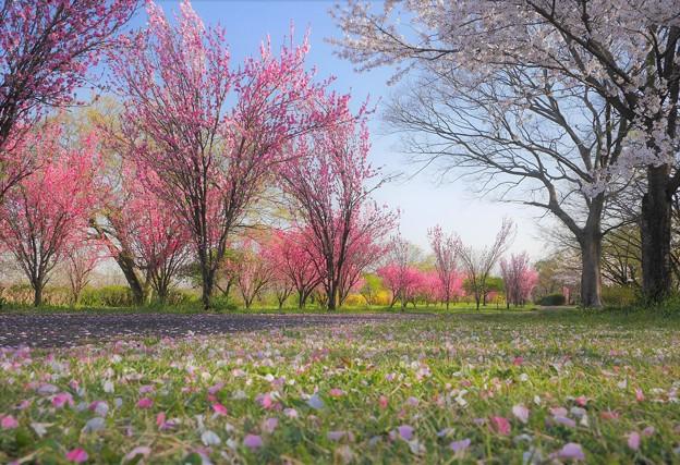 ハナモモとソメイヨシノの公園