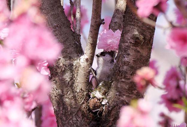 ハナモモの木でエナガさんが巣作りしてる!!