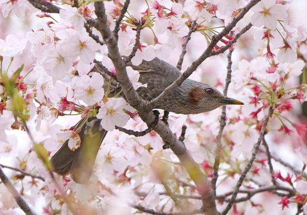 桜、ヒヨドリさんの天下でした。