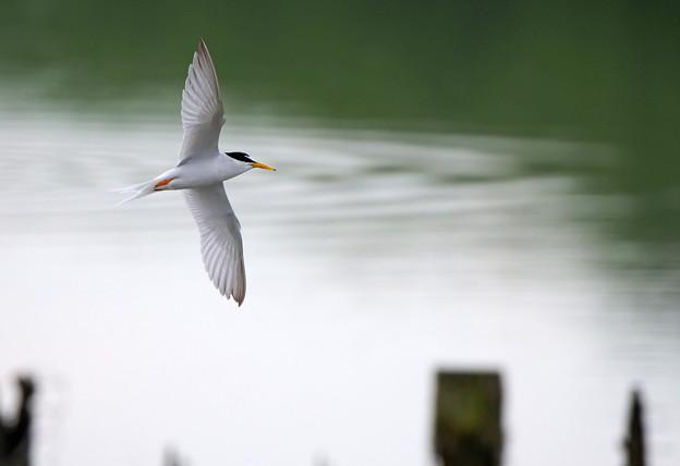 沼上を飛ぶコアジサシ1