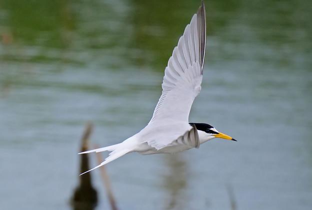 沼上を飛ぶコアジサシ2