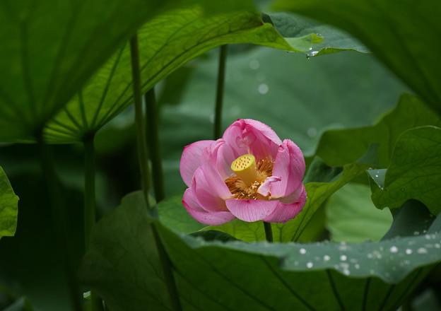 アーチの向こうにハスの花