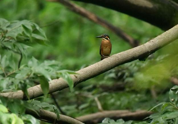 Photos: カワセミ幼鳥さんかー