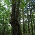 Photos: カツラの巨木
