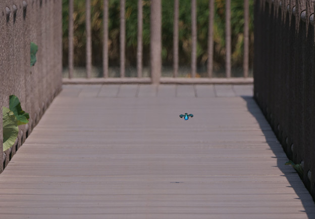 カワセミ水上遊歩道を飛ぶ