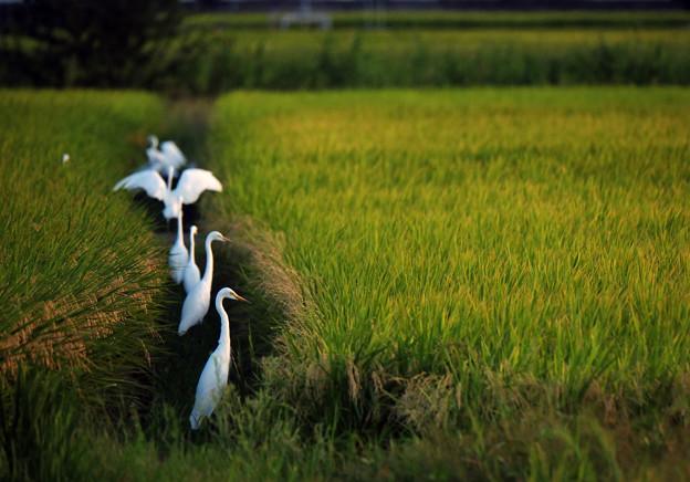 白鷺の畦道、実りの秋
