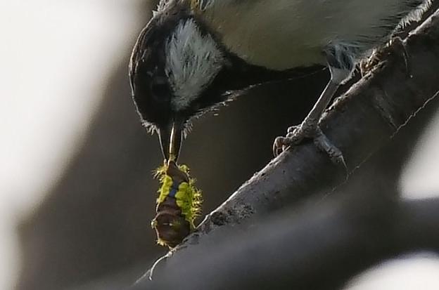 食べられるイラガの幼虫
