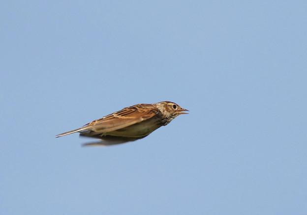 ヒバリさん水平飛行中