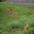 キジ VS ネコ
