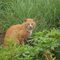Photos: キジを襲わないネコ