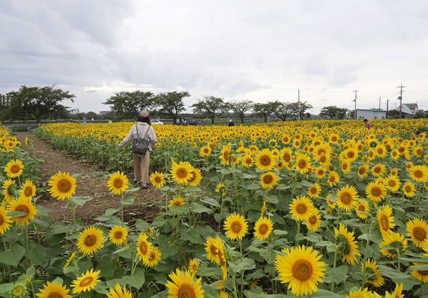 Photos: ヒマワリ畑