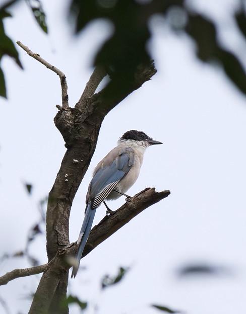 オナガ幼鳥さん