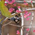 Photos: マユミの実を食べるコゲラっち