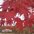 限定的に鮮やかな紅葉に的を絞って秋を楽しもう