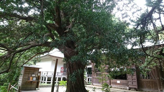 イヌマキの大木