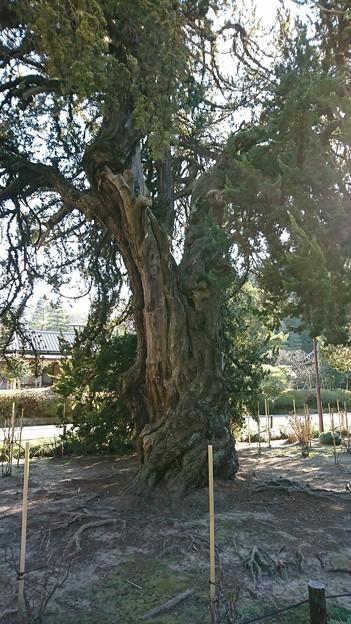 ビャクシンの古木