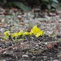 写真: あしもとに春が来た
