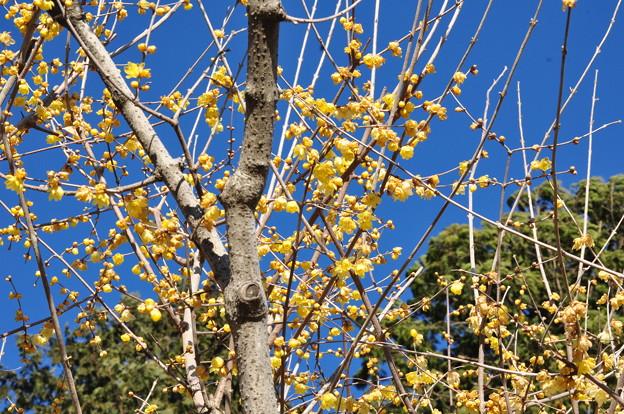 青い空~黄色い梅~♪