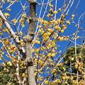 写真: 青い空~黄色い梅~♪