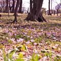 写真: 樹下、春歌爛漫