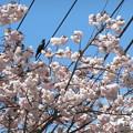 Photos: 桜カラー