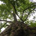 写真: 大樹