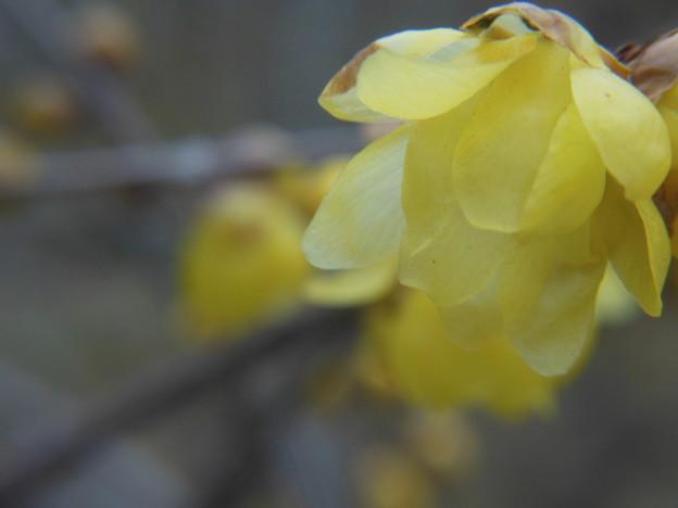 Photos: 春宵蝋梅