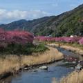 Photos: 河津桜まつり1 ゆったりのんびり