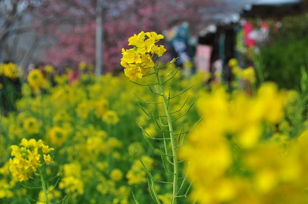 河津桜まつり4 菜の花