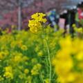 Photos: 河津桜まつり4 菜の花