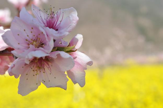 桃源郷2 ももちゃんと菜の花