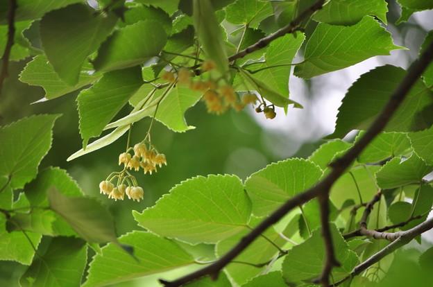 菩提樹(初夏の散歩)
