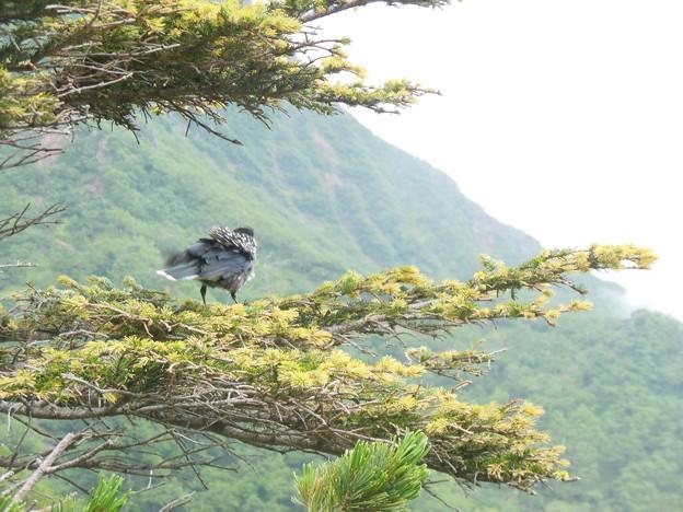 Photos: 夏登山 赤岳の動植物5 ホシガラス
