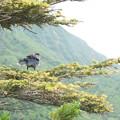 夏登山 赤岳の動植物5 ホシガラス