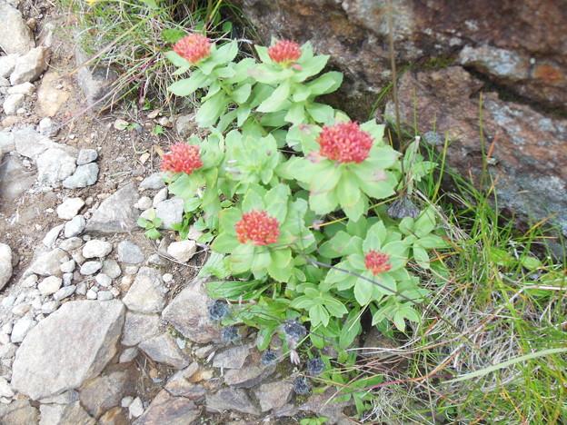 夏登山 赤岳の動植物9 イワベンケイ