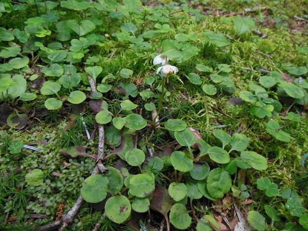 夏登山 赤岳の動植物13 マルバノイチヤクソウ
