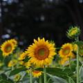 Photos: 夏の ヒマワリさん♪