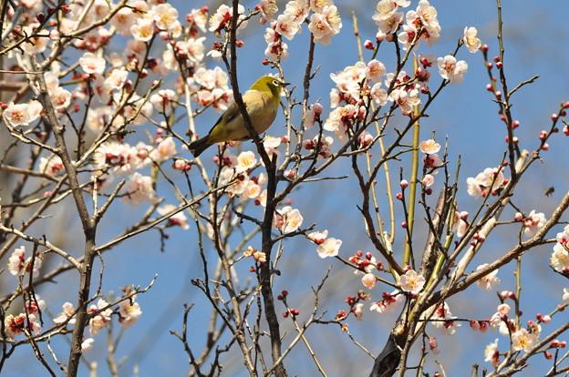春と言えば 梅ジロー