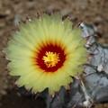 写真: サボテンの花003