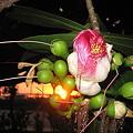 碁盤の脚 ジャパユキの花