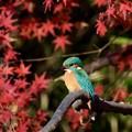 Photos: 紅葉とカワセミ