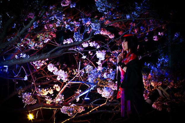 Photos: 晩桜