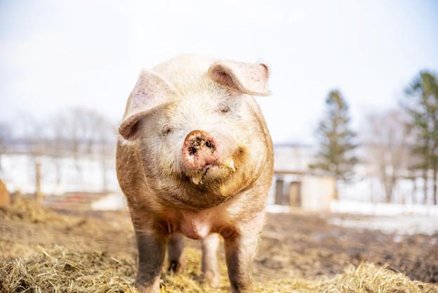 北海道上士幌町の豚さん