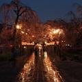 春雨降る夜桜 *c