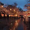 春雨に濡れた夜桜咲く参道 *a