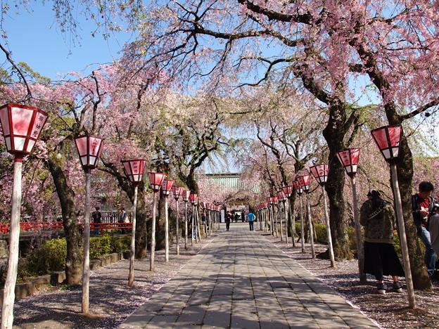 春の青空の下、桜咲く参道