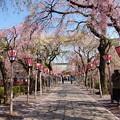 写真: 春の青空の下、桜咲く参道