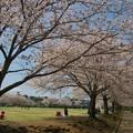 写真: 桜咲く公園でのひととき *c
