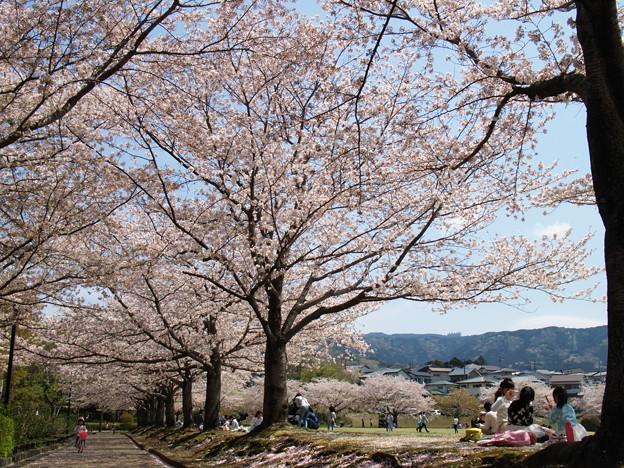 桜の下で寛ぐ休日 *a