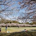 写真: 桜の下で寛ぐ休日 *c